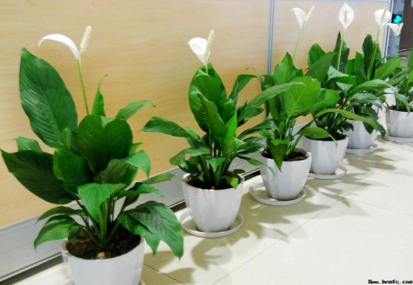 净化空气的室内植物有哪些合理搭配使空气更清晰【梵纯高端设计】